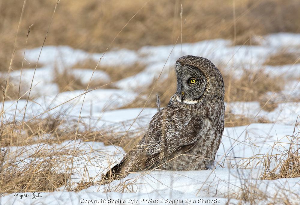 Great Gray Owl Prey Check