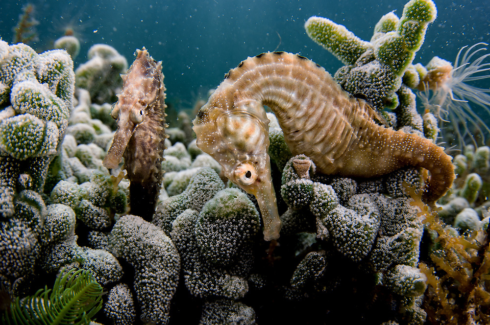 A pair of lined seahorses (Hippocampus erectus) in a pond in The Bahamas known to have the highest density of seahorses on Earth.