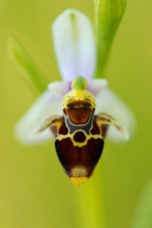 Woodcock orchid, Ophrys cornuta/scolopax, Bela Reka, Eastern Rhodope mountains, Bulgaria