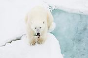 A polar bear adult (Ursus maritimus) sitting on the ice yawning, Spitsbergen, Northwest Coast of the Svalbard Archipelago, Norway