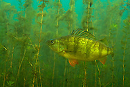Yellow Perch<br /> <br /> Engbretson Underwater Photography