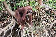 A wild orangutan (Pongo pymaeus) balancing on a tree root overlooking a river, Tanjung Puting National Park, Central Kalimantan, Borneo, Indonesia