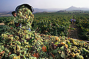 Grape harvest near Castillo de Davilillo, La Rioja Region, Spain.