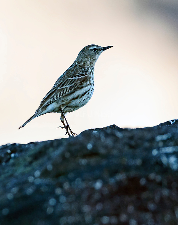 Rock pipit (Anthus petrosus) from Hidra, south-western Norway in May.