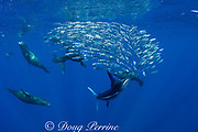 California sea lions, Zalophus californianus, and striped marlin, Kajikia audax (formerly Tetrapturus audax ), feeding on baitball of sardines, or pilchards, Sardinops sagax, off Baja California, Mexico ( Eastern Pacific Ocean )