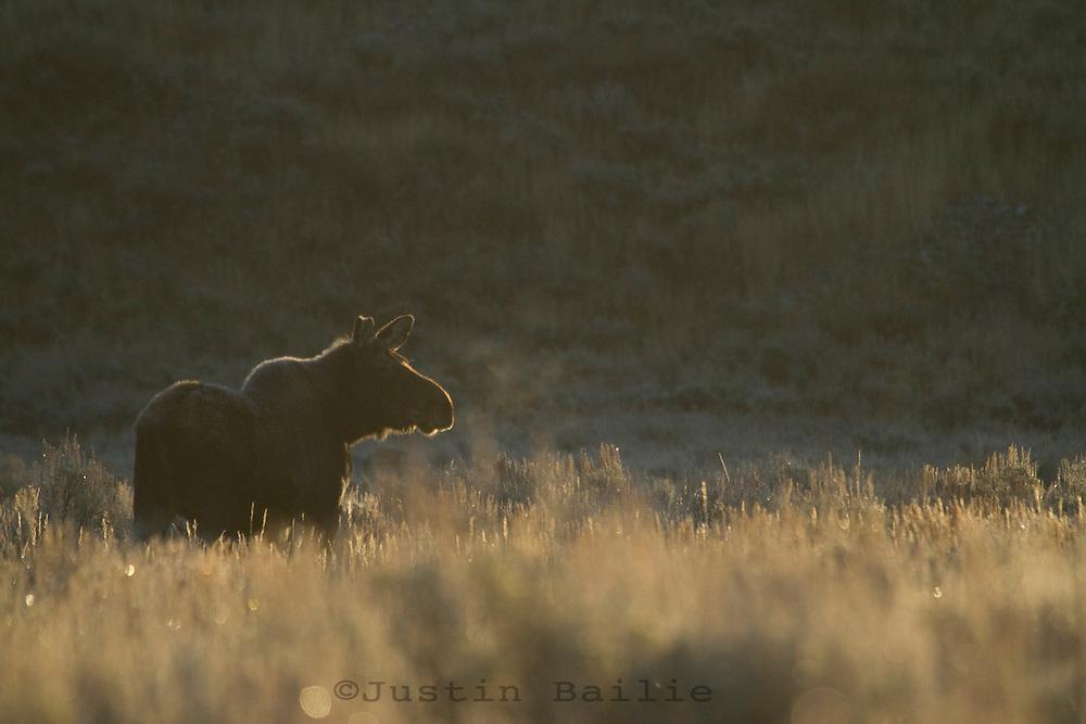 Moose in Grand Teton NP, WY.