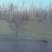 Moose (Alces alces) young bull feeding on aquatic plants in  the Madison River during the morning. Wyoming