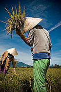 a vietnamese female farmer harvests rice in a field of Kanh Hoa province, Vietnam, Asia. She holds a sheaf of rice in her hand and wears a conical hat.