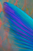 Abstract of the very colorful fin of a parrotfish, Southern Egyptian Red Sea