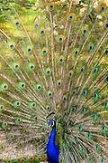 Peacock Display in California