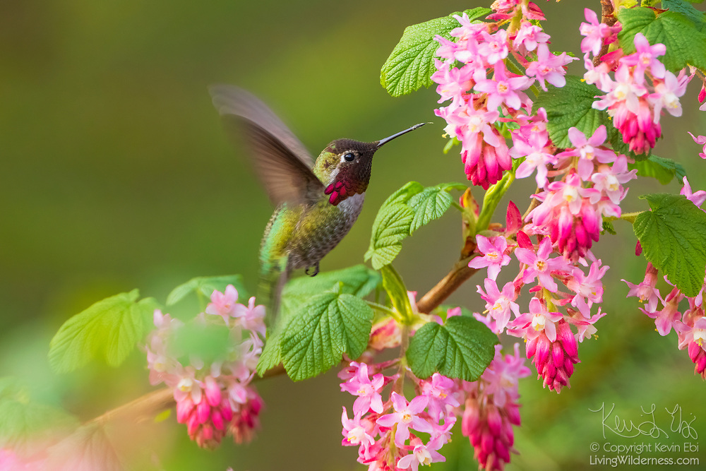 The tip of an Anna's hummingbird's (Calypte anna) tongue is visible as it finishes feeding from the blossom of a red flowering currant (Ribes sanguineum).