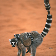 Ring-tailed lemur (Lemur catta) adult and young, Madagascar.
