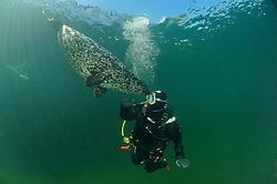 Common Seal, Phoca vitulina vitulina and scuba diver, Rostock, Warnemuende, Germany, Baltic Sea, MR, PR