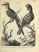 Cuculus [cuckoos] 1. Crested African Cucoo 2. Great Spotted Cuckoo Copperplate engraving From the Encyclopaedia Londinensis or, Universal dictionary of arts, sciences, and literature; Volume V;  Edited by Wilkes, John. Published in London in 1810
