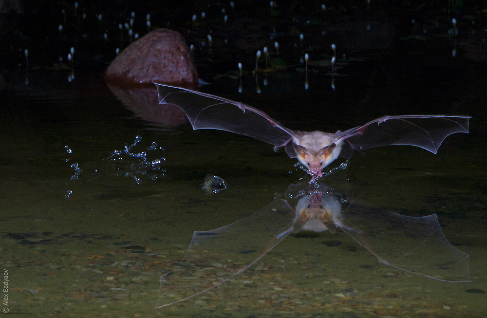 NIGHTCAP | A thirsty pallid bat(Anstrozous pallidus) takes a break after an evening of feasting on scorpions in Arizona's Sonoran desert