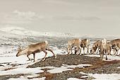 Rein - Reindeers II