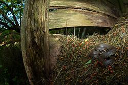 Grass snake Natrix natrix, adult resting on compost heap, Suffolk, August