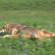 Gray Wolf (Canis lupus) adult running in the Rocky Mountains of Montana. Captive Animal