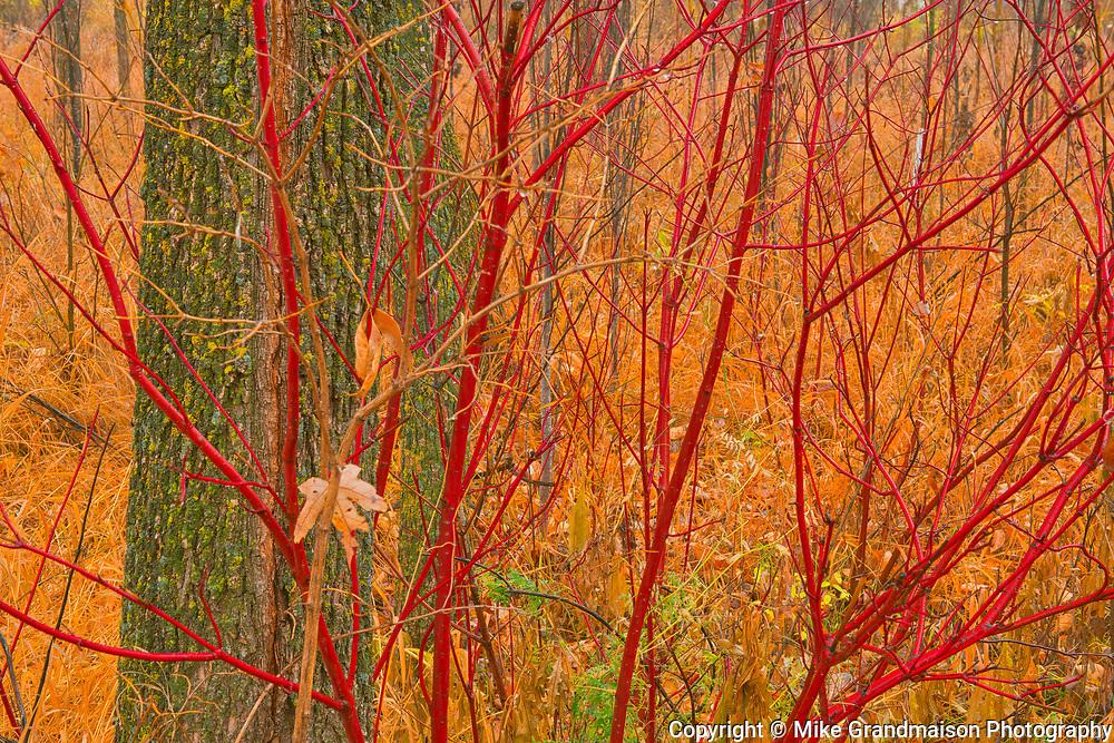 Dogwood shrub in autumn in Henteleff Park<br />Winnipeg<br />Manitoba<br />Canada
