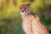 A soft blurred portrait of a sitting cheetah  (Acinonyx jubatus),  Ndutu, Ngorongoro Conservation Area, Tanzania, Africa