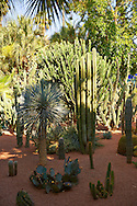 Catus in The Majorelle Garden botanical garden designed by French artist Jacques Majorelle in the 1920s and 1930s, Marrakech, Morocco .<br /> <br /> Visit our MOROCCO HISTORIC PLAXES PHOTO COLLECTIONS for more   photos  to download or buy as prints https://funkystock.photoshelter.com/gallery-collection/Morocco-Pictures-Photos-and-Images/C0000ds6t1_cvhPo<br /> .<br /> <br /> Visit our ISLAMIC HISTORICAL PLACES PHOTO COLLECTIONS for more photos to download or buy as wall art prints https://funkystock.photoshelter.com/gallery-collection/Islam-Islamic-Historic-Places-Architecture-Pictures-Images-of/C0000n7SGOHt9XWI