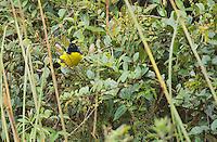 Hooded mountain tanager, Buthraupis montana, Yanacocha Reserve, Ecuador