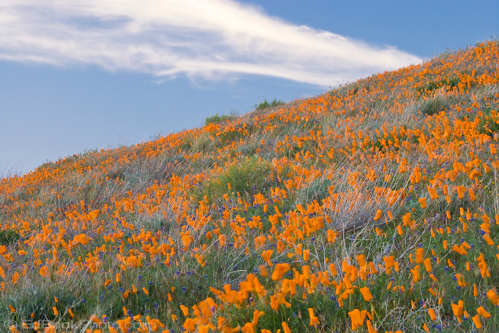 California poppies blanket a hillside at the Antelope Valley California Poppy Reserve, California, USA.