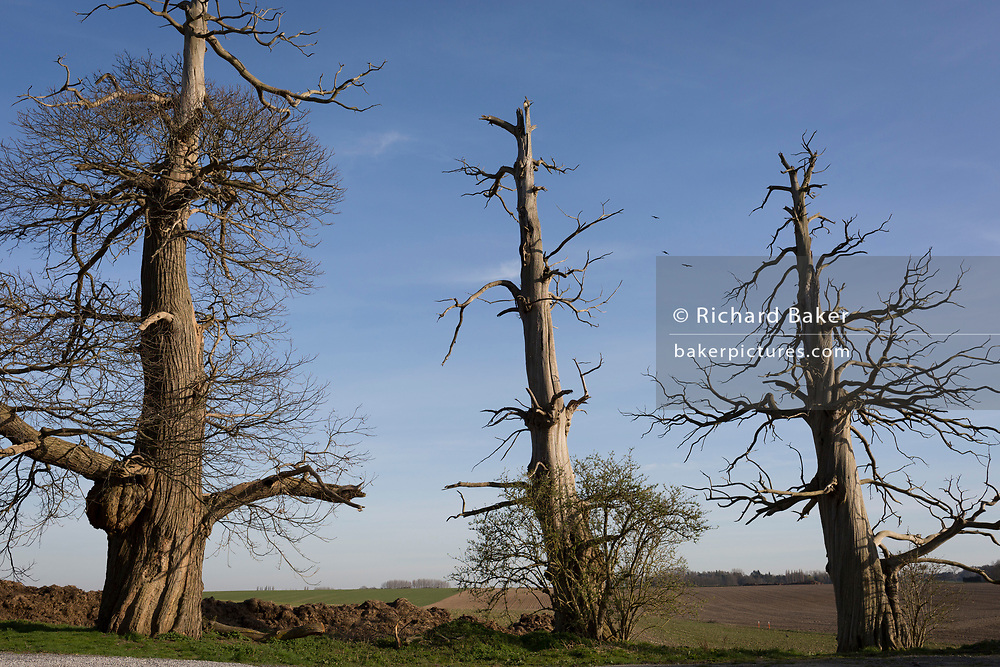 Three scarred Chestnut trees, remains of a wood on the Waterloo battlefield where French troops died in their thousands outside the walls of Hougoumont Farm, on 25th March 2017, at Waterloo, Belgium. The trees trunks are still pockmarked by musket fire with holes still embedded in the bark. The chateau became an epicentre of fighting in the Battle as it was one of the first places where British and other allied forces faced Napoleon's Army. 12,000 allied troops defending 14,000 French. The Battle of Waterloo was fought on 18 June 1815. A French army under Napoleon Bonaparte was defeated by two of the armies of the Seventh Coalition: an Anglo-led Allied army under the command of the Duke of Wellington, and a Prussian army under the command of Gebhard Leberecht von Blücher, resulting in 41,000 casualties.