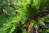 Hart's tongue fern (Asplenium scolopendrium), San Marino.
