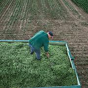 Nederland Giessen 28 augustus 2009 20090828 Foto: David Rozing  ..Serie over levensmiddelensector                                                                                      .Machinale oogst van tuinbonen, de boontjes worden vanuit de oogstmachine overgestort in een container. Deze wordt vervolgens getransporteerd naar de fabriek van HAK, waar de groente dezelfde dag wordt verwerkt. Boer egaliseert met een riek de massa van groente..Harvest ..Foto: David Rozing