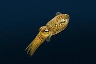 Little Cuttlefish - Sepiola atlantica