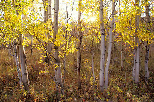 Wyoming, Aspens in golden fall colors. Grand Teton National Park.