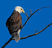 Bald Eagle (Haliaeetus leucocephalus) perched in tree, Oyster Bay, Vancouver Island, Canada   Photo: Peter Llewellyn