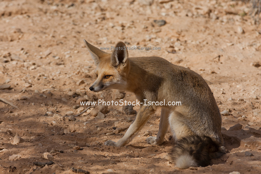 Israel, Arava Desert, Rueppell's fox and also called the sand fox (Vulpes rueppellii)