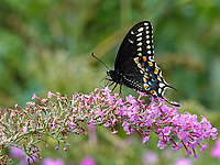A Black Swallowtail butterfly (Papillo Polyxenes) near North Meadow in Central Park
