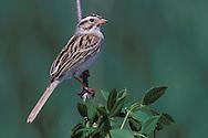 Clay-colored Sparrow - Spizella pallida