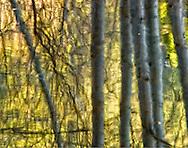 Yosemite Cotton Wood Reflection