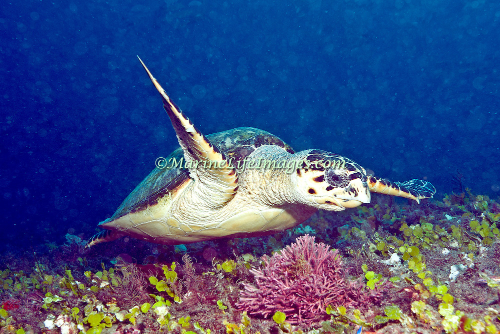 Hawksbill Sea Turtle are most commonly found on coral reefs where 70-95% of their food is sponges, although they also feed on crustations, algae and fish; they are circumtropical; picture takenBlue Heron  Bridge, Palm Beach, FL.