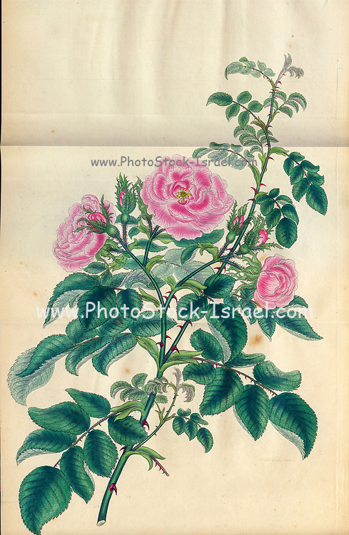 ROSA Eglanteria, major, Large Eglantine Rose, or Tree Sweetbriar. From the book Roses, or, A monograph of the genus Rosa : containing coloured figures of all the known species and beautiful varieties, drawn, engraved, described, and coloured, from living plants. by Andrews, Henry Charles, Published in London : printed by R. Taylor and Co. ; 1805.