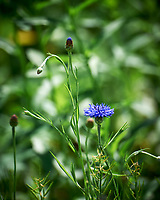 Blue Cornflower, Bachelor Button. Image taken with a Leica SL2 camera and 24-90 mm lens.