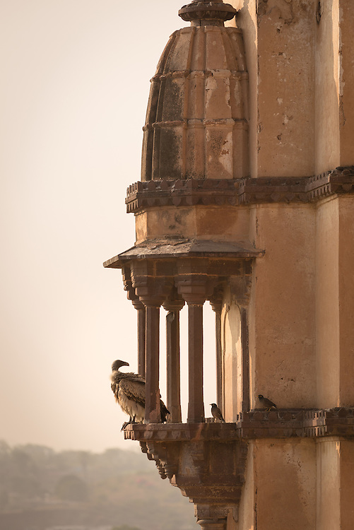 Vulture resting on rooftop of Orchha Chhartris