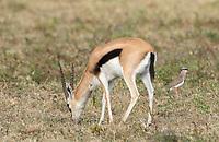 Thomson's Gazelle, Eudorcas thomsonii, grazes near a Crowned Lapwing, Vanellus coronatus, in Ngorongoro Crater, Ngorongoro Conservation Area, Tanzania