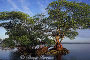 red mangrove tree,<br /> Rhizophora mangle,<br /> Florida ( Western Atlantic Ocean )