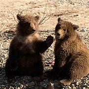 Alaskan Brown Bear (Ursus middendorffi) Two cubs playing. Katmai National Park. Alaska.