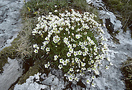 IRISH SAXIFRAGE Saxifraga rosacea (Height to 30cm) is similar to Tufted Saxifrage (their ranges do not overlap, however) but with larger flowers (12-18mm across) borne on open clusters on slender stems (Jun-Aug). The leaves have pointed (not blunt) lobes. It grows in damp places among rocks and is extremely local in the S and W.