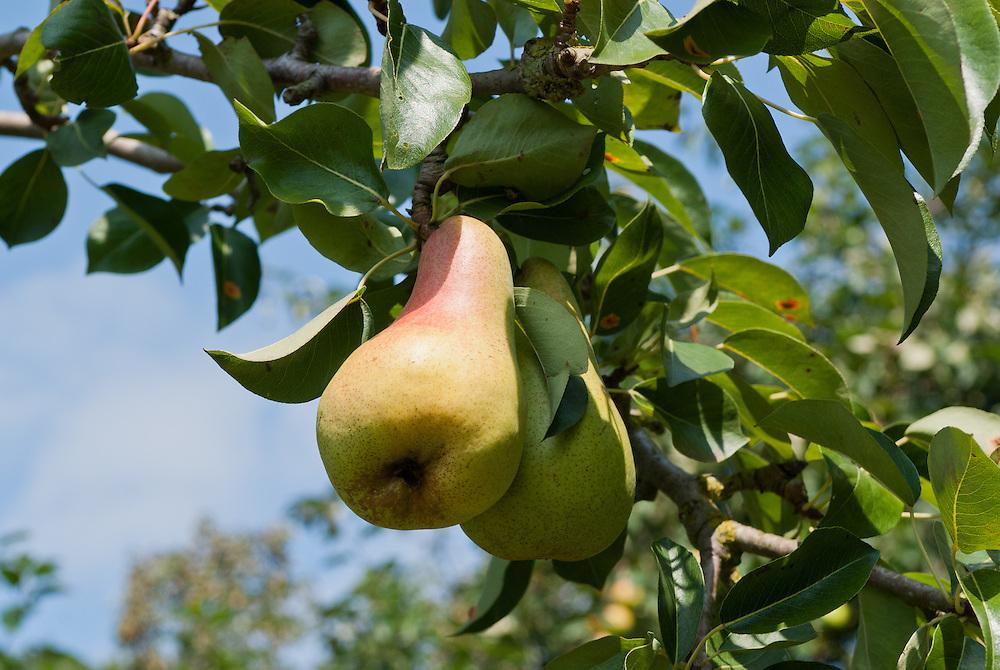 Bio-Birnen  hängen prall an einem Baum |  two organic pears  on a tree    |