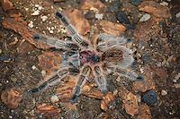 Close-up shot of a freshly-molted captive rose hair tarantula.
