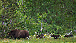 Grizzly Bear sow 399 and her three cubs in summer of 2011.<br /> <br /> Contact for custom print options or inquiries about stock usage  - dh@theholepicture.com
