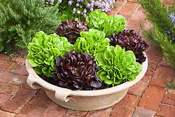 Salonova lettuces in a terracotta pot. Lettuce 'Descartes' and Lettuce 'Seurat'. Lactuca sativa