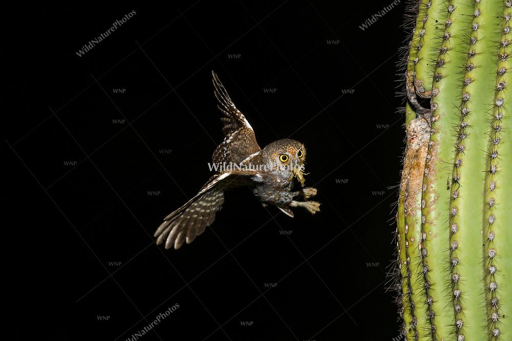 A male Elf Owl (Micrathene whitneyi) carrying a scorpion, flying up  to a nest in a Saguaro cactus (Carnegiea gigantea). (Tucson, Arizona).